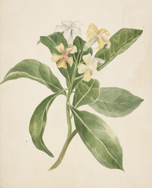 Frangipani Tree Drawing of Native Frangipani